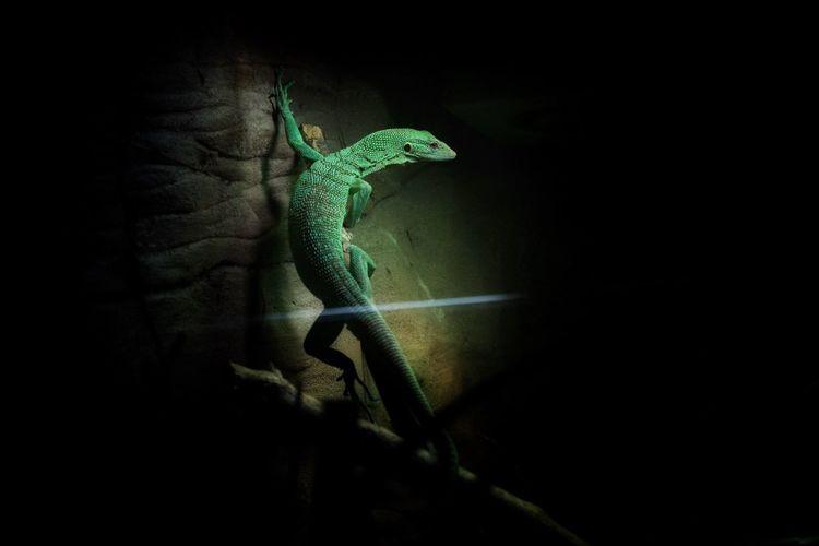 Lizard on wall at zoo