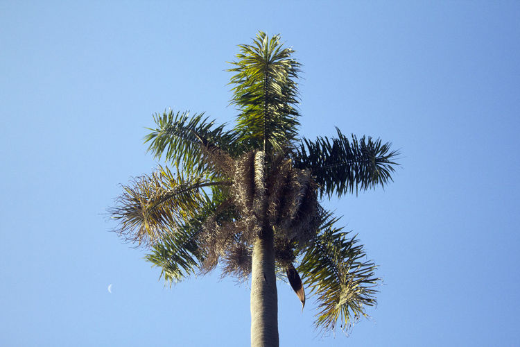 Brazil Moon Beauty In Nature Blue Clear Sky Copy Space Day Green Color Growth Low Angle View Nature No People Outdoors Palm Tree Sky Summer Tree Tree Trunk Tropical Climate