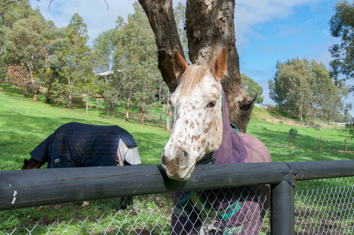 Friendly white spotted horse with strawberry blond mane at fence line in peaceful rural Swan Valley setting in Western Australia. Agriculture Animal Animal Head  Animal Themes Cream Day Domestic Animals Equestrian Farm Fence Friendly Horse Livestock Looking Mammal Nature One Animal Outdoors Pasture Rural Spotted Strawberry Blond Swan Valley  Tree Western Australia