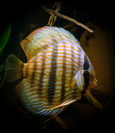 One Animal TropicalFish Heckel Discusfish Discus Amazon Aquarium Animal Themes Commercial