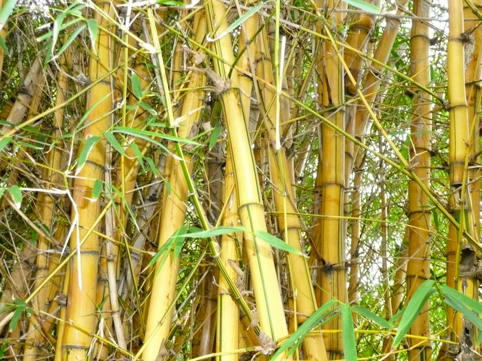 Background Background Texture Bamboo Bamboo - Plant Bamboo Full Frame Bamboo Grove Botanical Botanical Gardens Botanical Images Botany Close-up Full Frame Grass Green Color Growth Nature No People Outdoors Pandas Plant Yellow