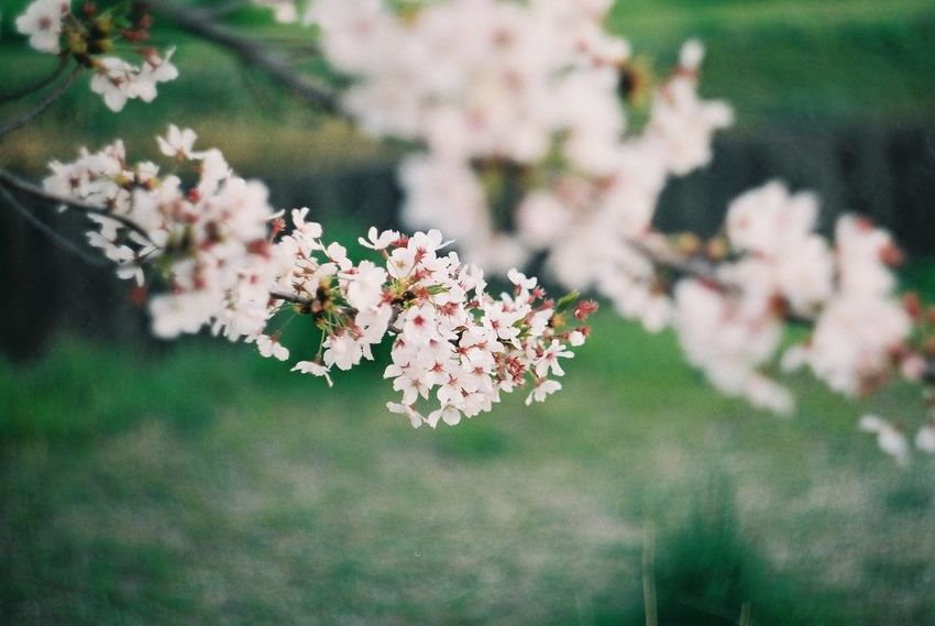 Pentax SpII Fujicolor Industrial 100 Sakura Cherry Blossoms Flower Head Flower Tree Springtime Pink Color Blossom Cherry Tree Cherry