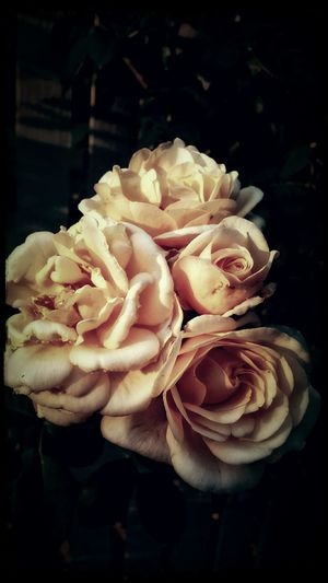 Creme Caramel Old School Romance EyeEm Nature Lover Roses🌹