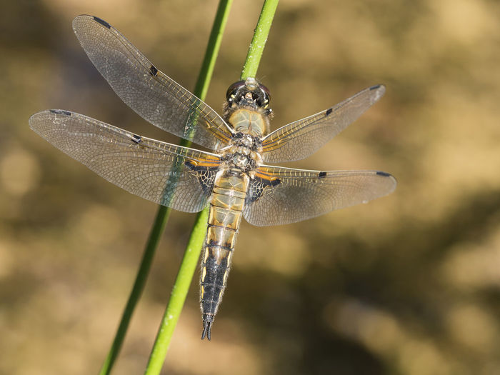 Blade Of Grass Macro Photography Pond Animal Animal Eye Animal Themes Animal Wildlife Animal Wing Animals In The Wild Close-up Damselfly Dragonfly Focus On Foreground Insect Insects  Libelle🌾 Nature No People One Animal Outdoors Plant Selective Focus Summer Zoology