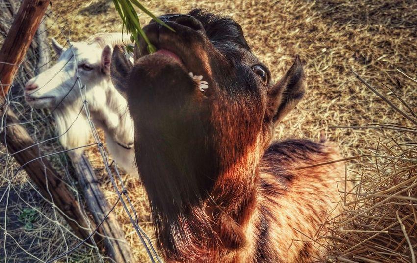 Goats Omnomnom Animal Photography Animal Animalsposing Check This Out