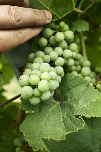 Close-up of hand holding grapes