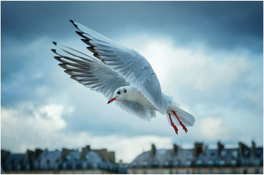Nature Photography Nature Birds Bird Seagulls Seagull Paris Roofs Wings Showcase: November Mybestphoto2015 My Best Photo 2015 Travel New Years Resolutions 2016 voyager