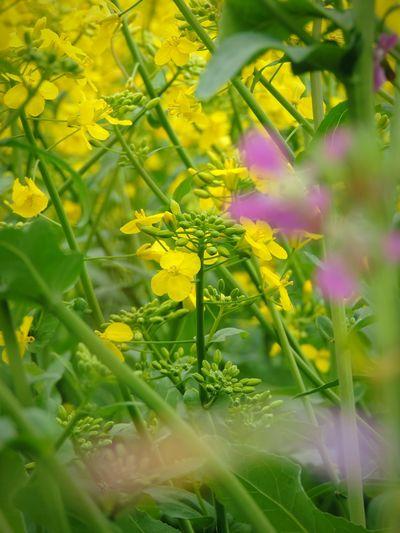 Flowers Yellow Nature Landliebe Rapsfeld