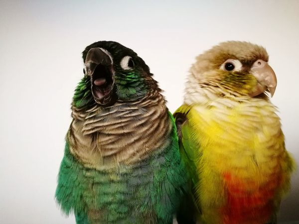Pets Animal Multi Colored Bird Feather  Greencheekconure Parrot Lover Parrot Bulgaria Feather