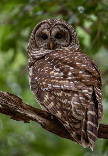 Barred owl in Florida Barred Owl Florida Animal Animal Themes Bird Animal Wildlife Animals In The Wild Vertebrate One Animal Bird Of Prey Owl Focus On Foreground Perching Day No People Close-up Tree Nature Plant Outdoors Branch Beauty In Nature