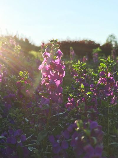 The salvia flowers with sunshine in the evening EyeEm Gallery EyeEm Nature Lover Fairy Lights Nature Purple Flowers Sunset Sunshine Evening Salvia Flowers Flower Growth Plant Nature Purple Fragility Beauty In Nature Day Blooming Outdoors Close-up Freshness Flower Head