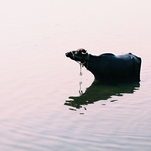 Cattle Wading In Water