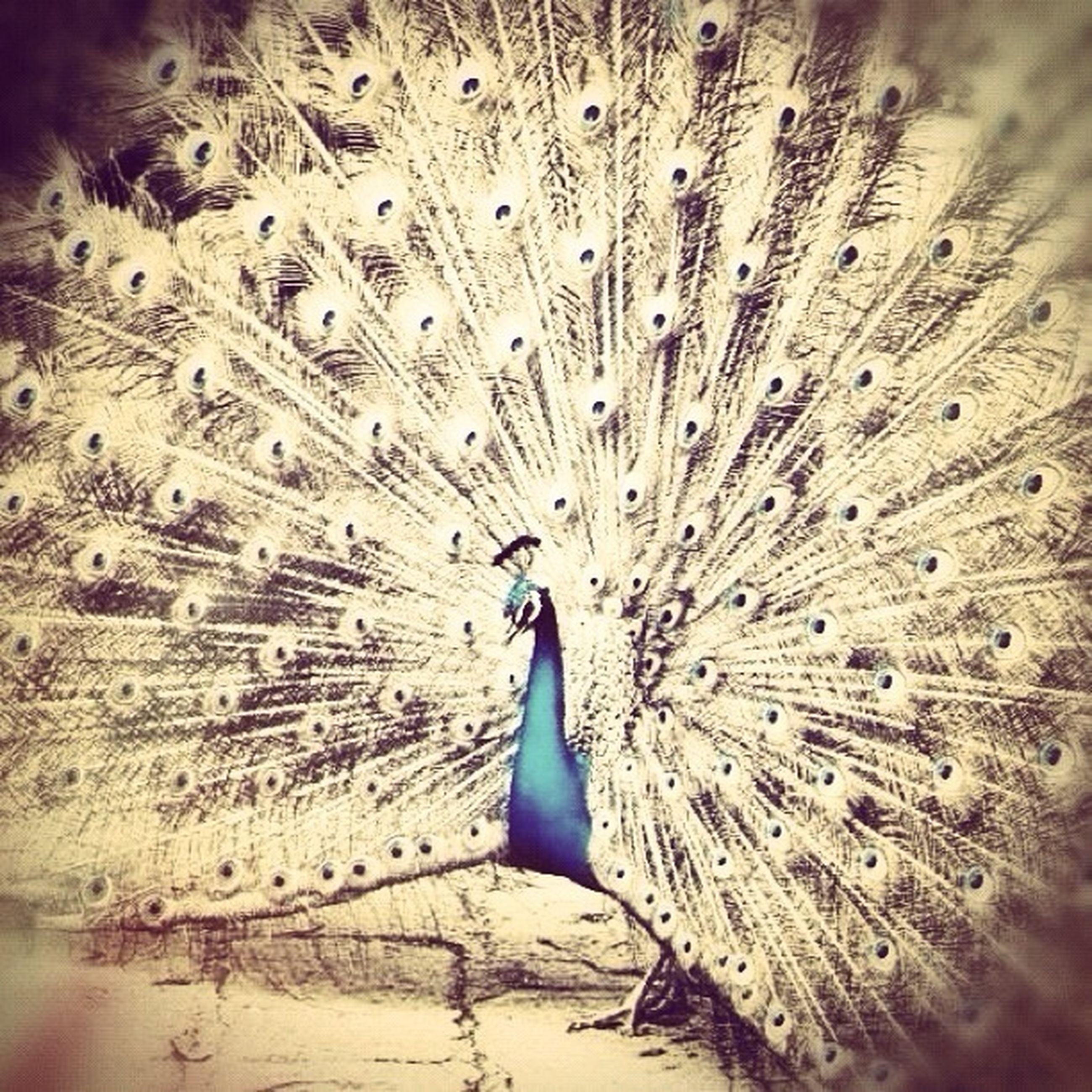 animal themes, animals in the wild, wildlife, one animal, bird, feather, nature, beauty in nature, natural pattern, water, close-up, outdoors, peacock, no people, blue, day, flying, high angle view, full length, animal wing