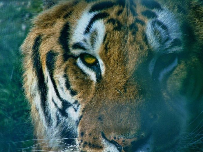One Animal Animals In The Wild Animal Wildlife Tiger Animal Themes Close-up Day Outdoors No People Mammal Nature Portrait Details Eyes Animal Eye First Eyeem Photo EyeEmNewHere