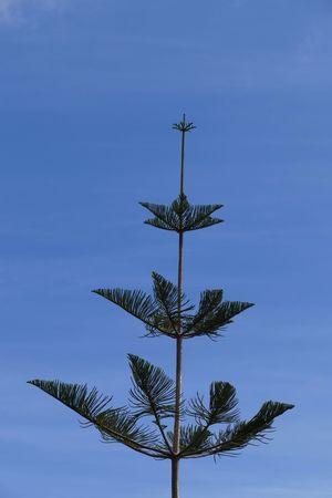 Blue Sky Bluesky Blue Tree Conifer  Conifers Natures Diversities
