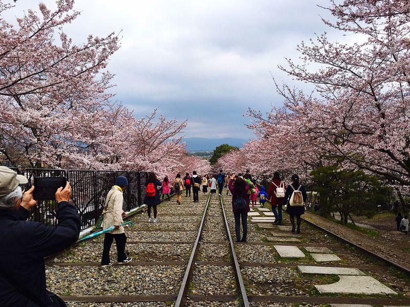桜の季節 蹴上インクライン 桜
