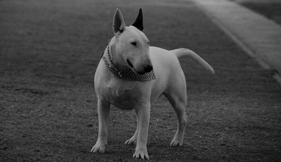 I Love My Dog Bullterrieringles My Dog Muza Gris Musa Dog Blackandwhite Photography Bullterrier