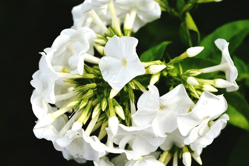 Flower Close-up Nature Flower Head Black Background Plant White Flower Many Flowers Beauty In Nature Water Drops