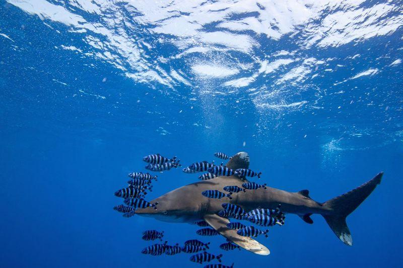 Oceanic white tipp shark swimming in sea
