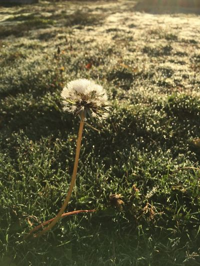 Turning of the seasons Dandelion Frosty Mornings