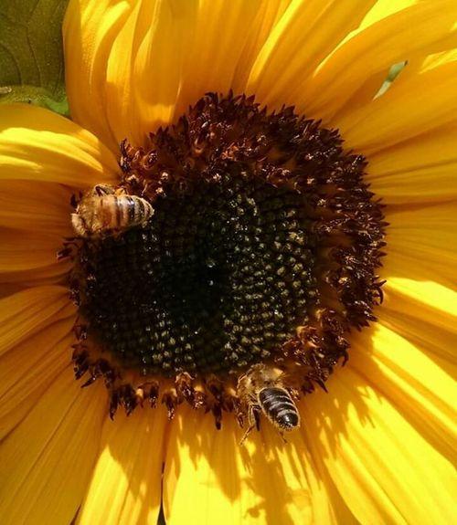 Bees And Flowers Honey Bees  Sunflowersandbees Sunflowerlovers Beesonflowers flowerlover Collecting Pollen Pollenation Sunflower Plant Flowers Sunflowering