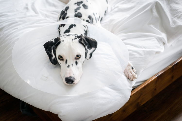 High Angle Portrait Of Dalmatian Dog Relaxing On Bed At Home