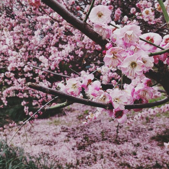 Flower Blossom Cherry Blossom Springtime Fragility Tree Beauty In Nature