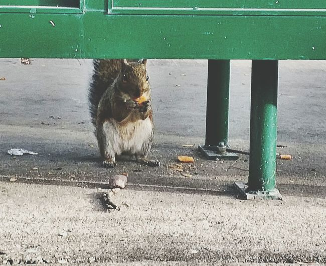 Squirrel Catchingthebus Bus Stop Eating Dinner Squirrel Photo Animal_collection Out Walking