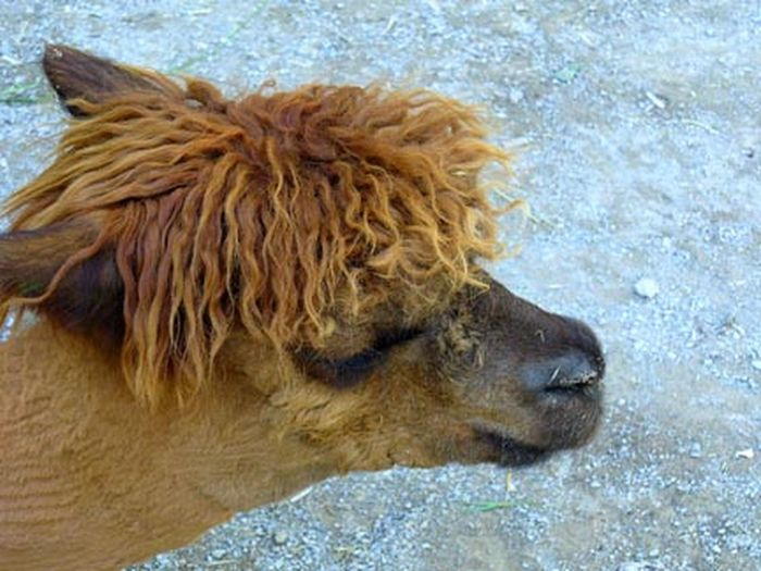 Alpaca Alpaca Face Alpaca Love Alpaca Profile Baby Alpaca No People One Animal