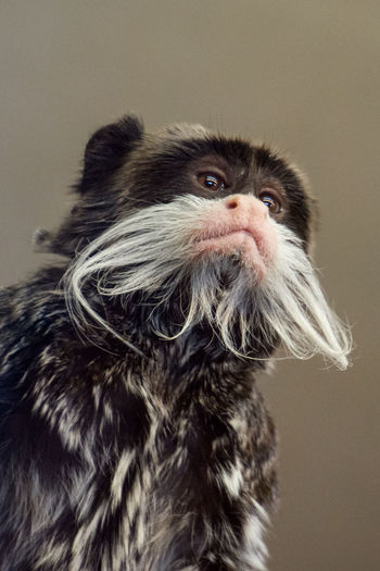 Animal Themes Close-up Day Dog Emperor Tamarin Monkey Indoors  Monkey No People One Animal Pets Primate Tamarin