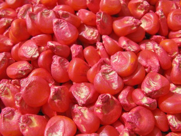 Corn Seed Agriculture Canonphotography Corn Corn Seed Farm Fungicides Kernel Pink Planting Seed Treated Seed