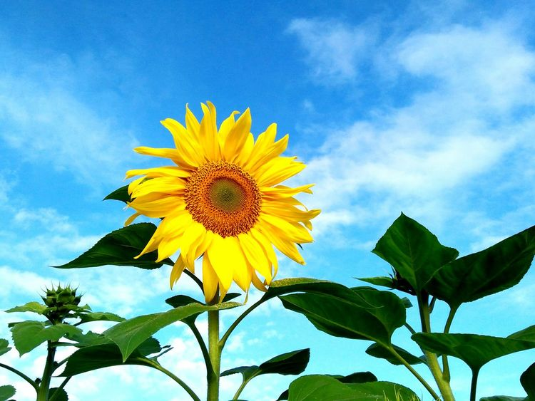 Sunflower Yellow Flower Beauty In Nature Outdoors Manila Philippines