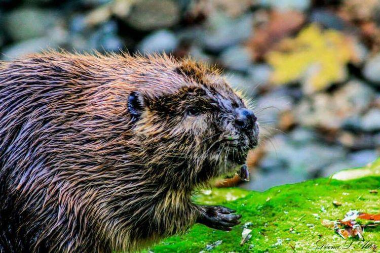 Beaver Northwest Trek Wildlife Washington