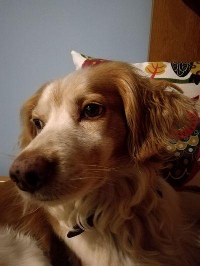 Kyan 💜 (Epagneul breton) Domestic Animals Epagneul Breton Kyan Animal Love Animal Friends Animal Friendship Dog❤ Dog