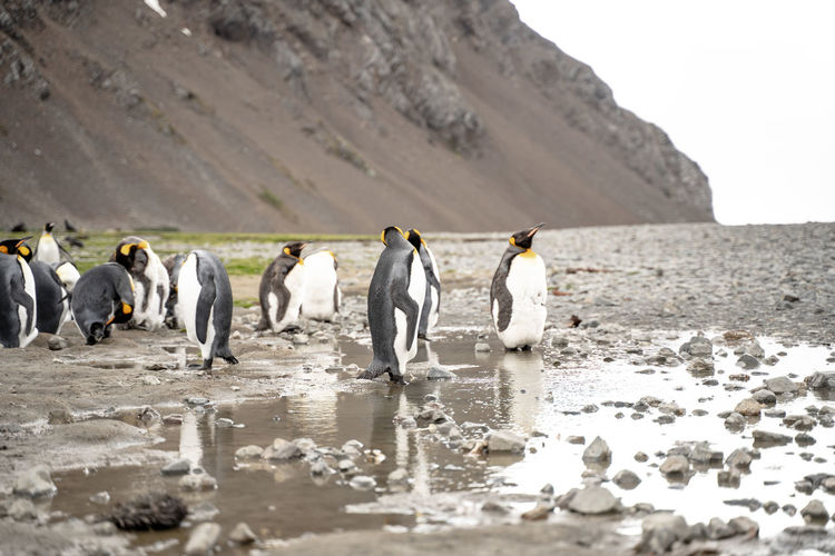 View of king penguins in a puddle.