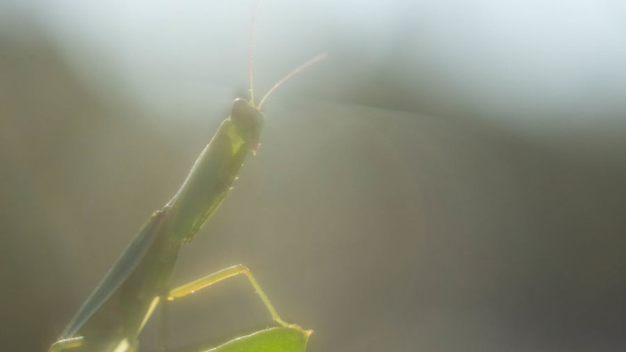 Light Animal Animal Antenna Animal Body Part Animal Themes Animal Wildlife Animals In The Wild Beauty In Nature Blade Of Grass Close-up Day Green Color Insect Invertebrate Leaf Mantis Nature No People One Animal Outdoors Plant Plant Part Praying Mantis Selective Focus Softness