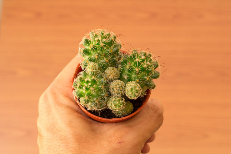 Close-up of hand holding potted cactus