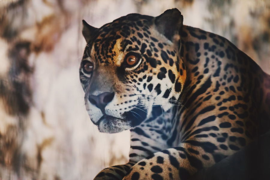 """My face when the floor creaks at 2 am"" The Five Senses JAGUAR Big Cats Animals"