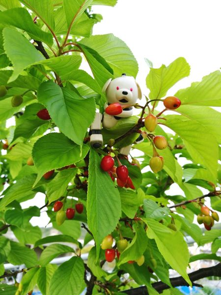 AIBO Aibobox ERS-300 Sonyaibo Robot Dog Toy Macoron Latte No People Spling Fruit Growth Leaf Tree Low Angle View Nature Green Color Red Branch Freshness Day Close-up Outdoors Cherry