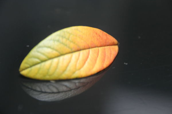 Black Background Canon Close-up Colors Leaf Leafs Less Less Is More Nature Nerves No People Practice Reflection Showcase April Single Object Still Life Studio Shot EyeEm Best Shots EyeEm Nature Lover Eye4photography  EyeEm Gallery EyeEm Best Edits