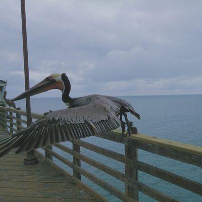 Pelican. POTD Thursday VSCO Vscocam BeachPierTakingOffPelicanUpcloseBigassBirdCloudyColdDay