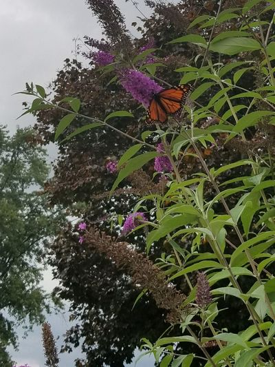 Flower Growth Fragility Nature Petal Freshness Beauty In Nature Plant Day No People Outdoors Green Color Leaf Tree One Animal Low Angle View Purple Flower Head Close-up Animal Themes Pennsylvania Butterfly Insect Monarch Butterfly Sky