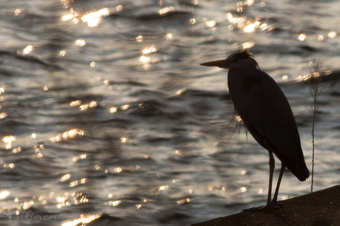 Japan Bird Gray Heron Hiji River K-5 IIs Morning Sun Outdoors Ozu Pentax River Silhouette Smc PENTAX-DA★ 300mm F4ED [IF SDM]