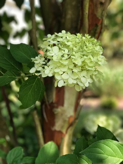 Hydrangea Flower Green Color Beauty In Nature Focus On Foreground Blooming IPhoneography IPhone7Plus