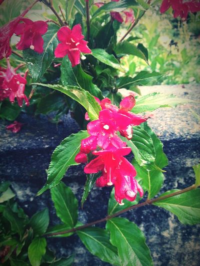 Flowers Green Leaves Garden Photography Pink Color Garden Beautiful Leaves And Flowers Natural Beauty Nature Stone Wall Stone Pink Flowers