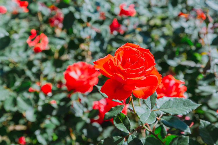 Rose Flowering Plant Flower Freshness Fragility Beauty In Nature Vulnerability  Plant Growth Petal Inflorescence Close-up Nature Flower Head No People Day Focus On Foreground Outdoors Rosé Rose - Flower Rose🌹 Nature Colorful Backgrounds Flower Collection Flowers Contrast EyeEm