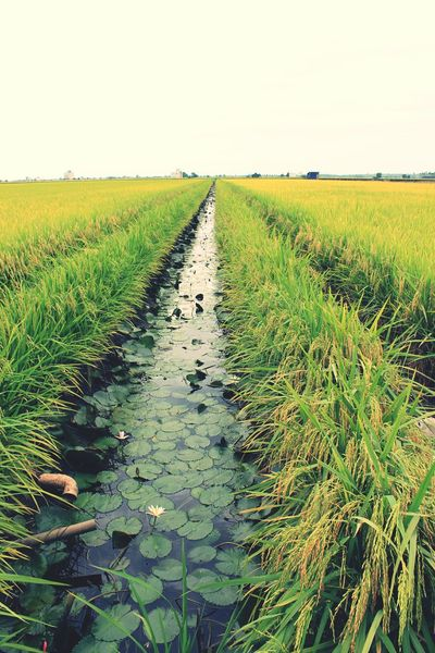 Sekinchan rice paddy field