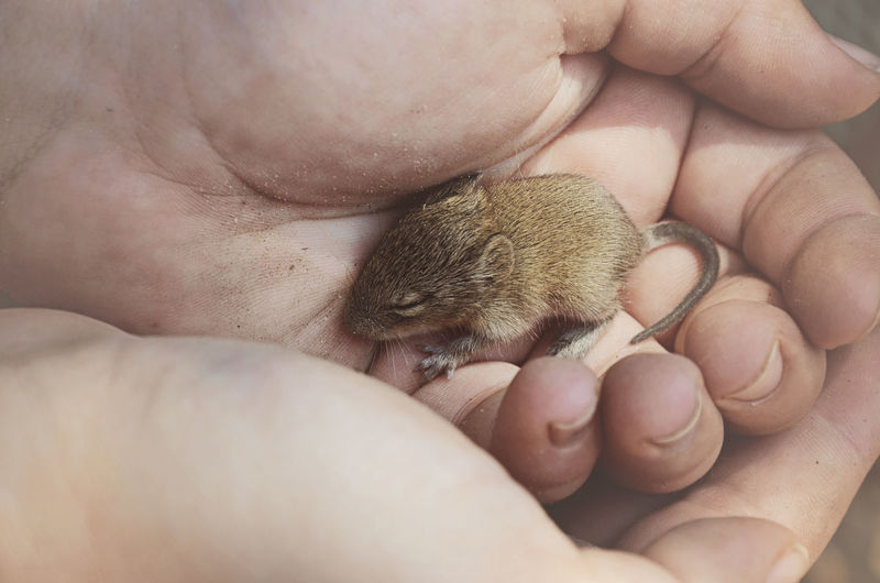 Cropped Hand Of Child Holding Young Mouse