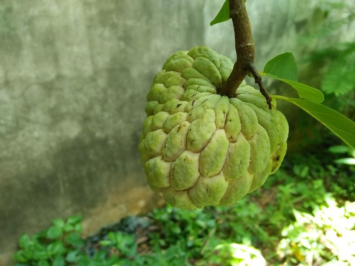 Growth Nature Plant Food Healthy Eating Fruit Agriculture No People Freshness Sweetsop Beauty In Nature Sugar Apple Freshness Sugarappletree Custard Apple Outdoors Food And Drink Tree Sweety  Nature Close-up Sugarapple Sweety