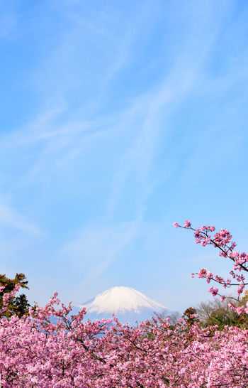 Beauty In Nature Sky Plant Flower Pink Color Nature Blue Flowering Plant Scenics - Nature Cloud - Sky Tree Tranquility Growth No People Day Tranquil Scene Freshness Fragility Land Outdoors Springtime Cherry Blossom Kawazu-zakura Mt.Fuji